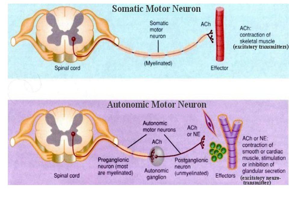 Nervová činnost - reflex Základní jednotkou je reflex Reflexní oblouk (receptor, dostředivá nervová dráha, centrum, odstředivá nervová dráha, efektor) Nepodmíněné reflexy (vrozené) – vždy po stejné dráze, po celý život, na stejný podnět stejná reakce Podmíněné reflexy (získané) – umožňují adaptaci na měnící se podmínky, dočasná nervová spojení, na stejný podnět i různé reakce, individuální, vznikají i zanikají během života, vznikají na základě spojení podmíněného podnětu s nepodmíněným reflexem
