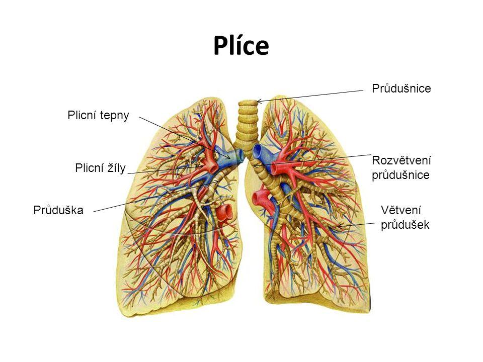 Plíce Plicní tepny Plicní žíly Větvení průdušek Rozvětvení průdušnice Průdušnice Průduška