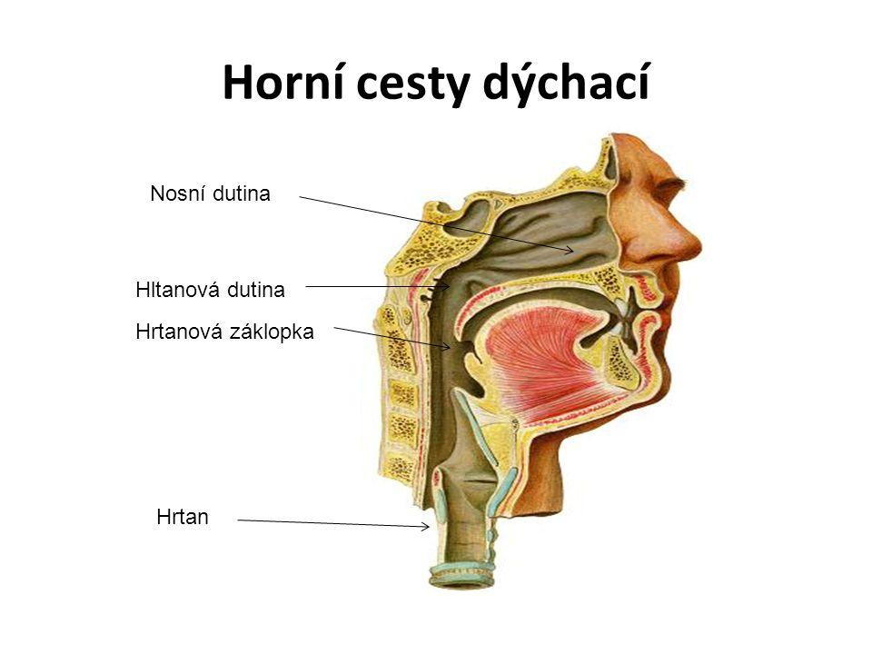 Horní cesty dýchací Nosní dutina Hrtanová záklopka Hrtan Hltanová dutina