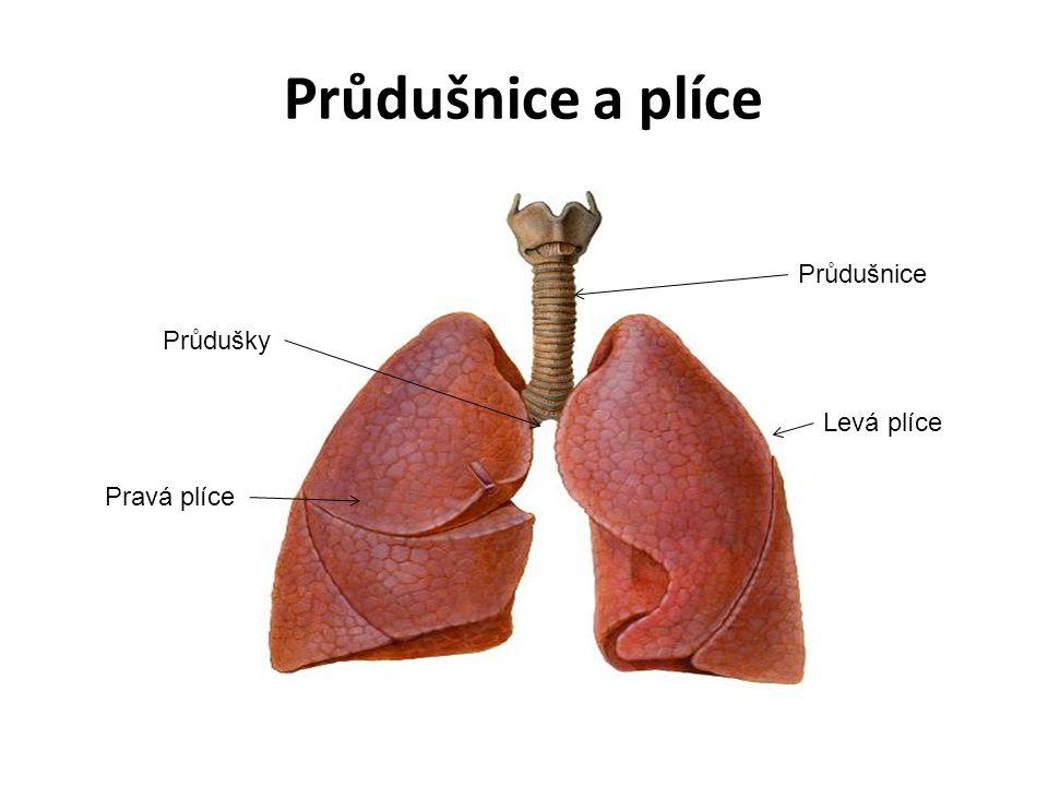 Průdušnice a plíce Průdušnice Průdušky Pravá plíce Levá plíce