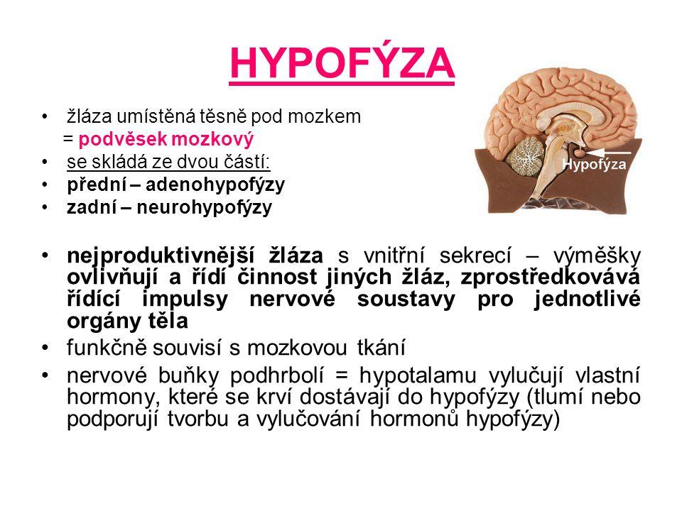 HYPOFÝZA žláza umístěná těsně pod mozkem = podvěsek mozkový se skládá ze dvou částí: přední – adenohypofýzy zadní – neurohypofýzy nejproduktivnější žl