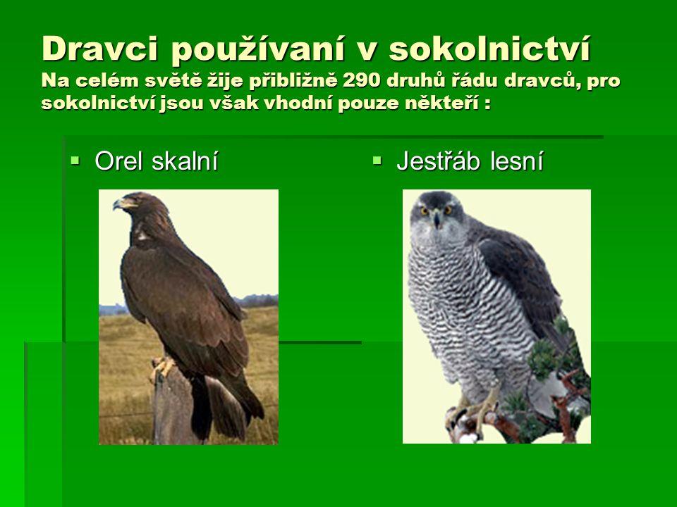 Dravci používaní v sokolnictví Na celém světě žije přibližně 290 druhů řádu dravců, pro sokolnictví jsou však vhodní pouze někteří :  Orel skalní  J