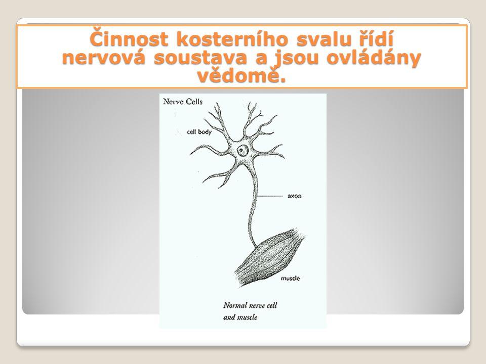 Činnost kosterního svalu řídí nervová soustava a jsou ovládány vědomě.
