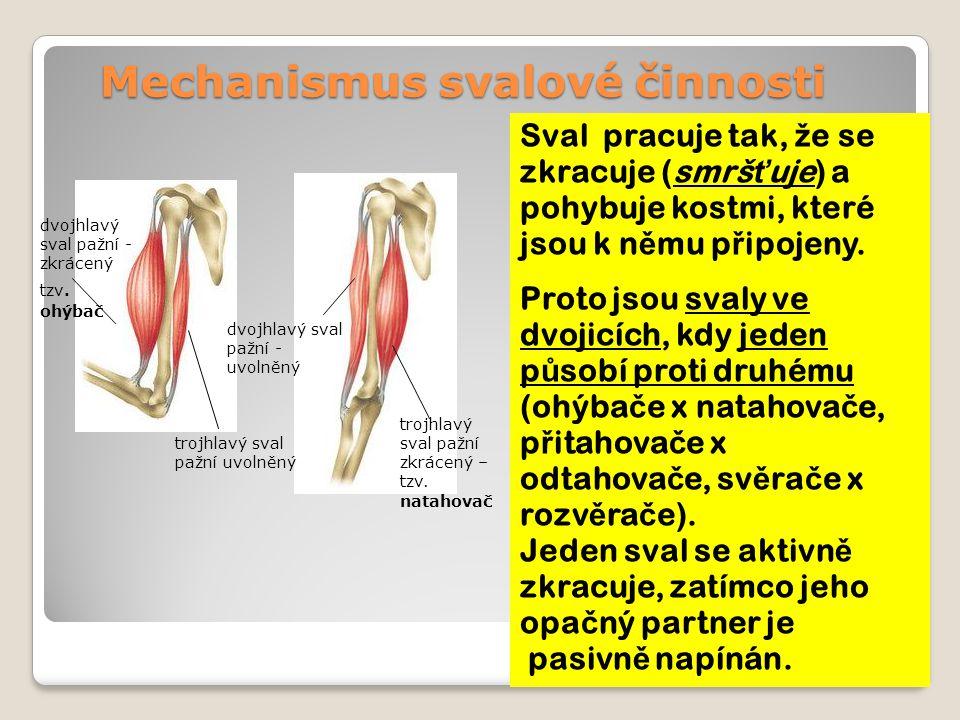 Mechanismus svalové činnosti Sval pracuje tak, ž e se zkracuje (smrš ť uje) a pohybuje kostmi, které jsou k n ě mu p ř ipojeny.