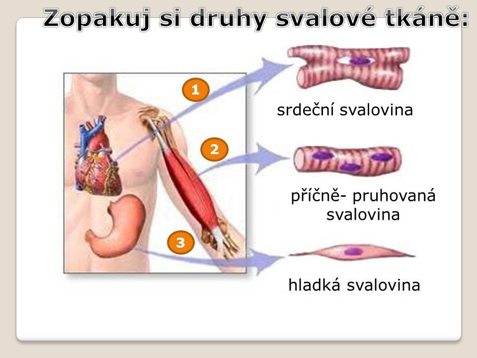 1 2 3 srdeční svalovina příčně- pruhovaná svalovina hladká svalovina