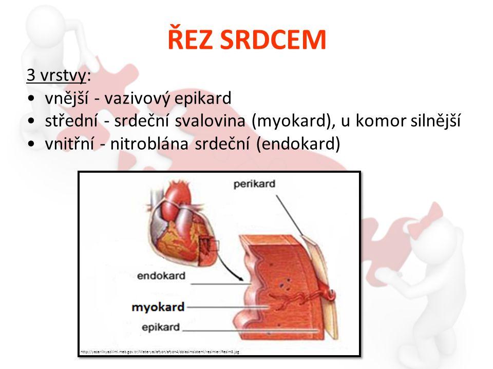 ŘEZ SRDCEM 3 vrstvy: vnější - vazivový epikard střední - srdeční svalovina (myokard), u komor silnější vnitřní - nitroblána srdeční (endokard) http://yazarlikyazilimi.meb.gov.tr/Materyal/afyon/afyon4/dolasimsistemi/resimler/Resim3.jpg