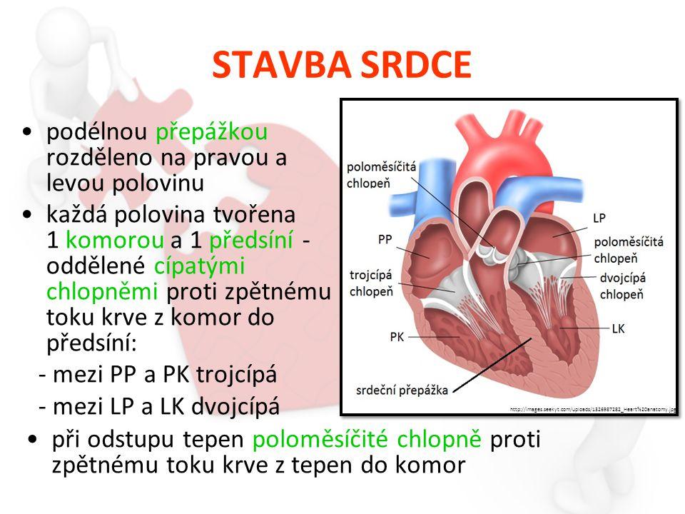 STAVBA SRDCE podélnou přepážkou rozděleno na pravou a levou polovinu každá polovina tvořena 1 komorou a 1 předsíní - oddělené cípatými chlopněmi proti zpětnému toku krve z komor do předsíní: - mezi PP a PK trojcípá - mezi LP a LK dvojcípá při odstupu tepen poloměsíčité chlopně proti zpětnému toku krve z tepen do komor http://images.seekyt.com/uploads/1326987282_Heart%20anatomy.jpg