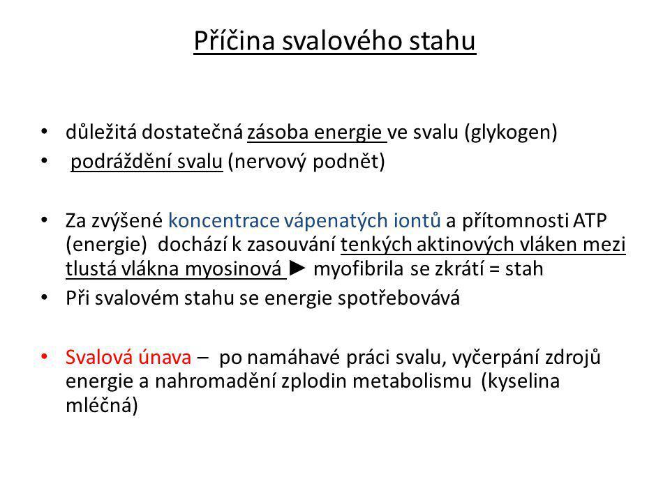 Názvosloví svalů Podle umístění (např.