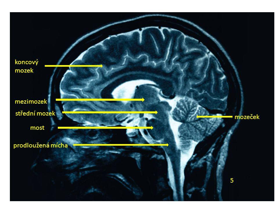5 koncový mozek mezimozek střední mozek most prodloužená mícha mozeček