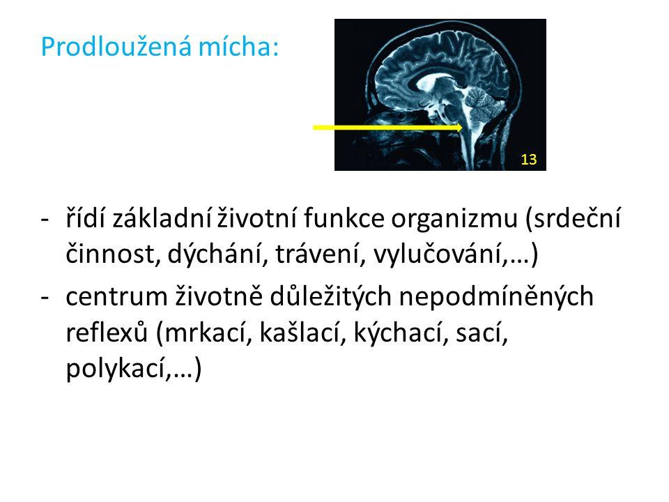 Prodloužená mícha: -řídí základní životní funkce organizmu (srdeční činnost, dýchání, trávení, vylučování,…) -centrum životně důležitých nepodmíněných
