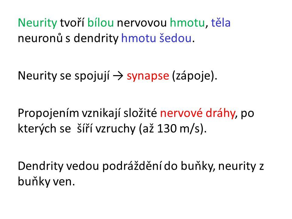 Neurity tvoří bílou nervovou hmotu, těla neuronů s dendrity hmotu šedou. Neurity se spojují → synapse (zápoje). Propojením vznikají složité nervové dr