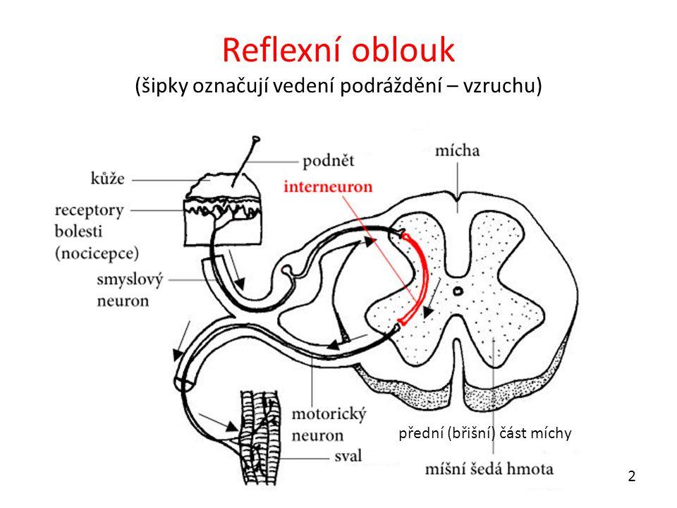 Reflexní oblouk (šipky označují vedení podráždění – vzruchu) přední (břišní) část míchy 2