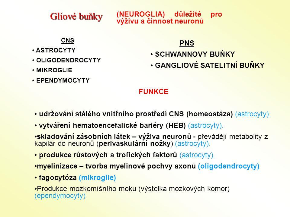 (NEUROGLIA) důležité pro výživu a činnost neuronů PNS SCHWANNOVY BUŇKY GANGLIOVÉ SATELITNÍ BUŇKY CNS ASTROCYTY OLIGODENDROCYTY MIKROGLIE EPENDYMOCYTY FUNKCE udržování stálého vnitřního prostředí CNS (homeostáza) (astrocyty).