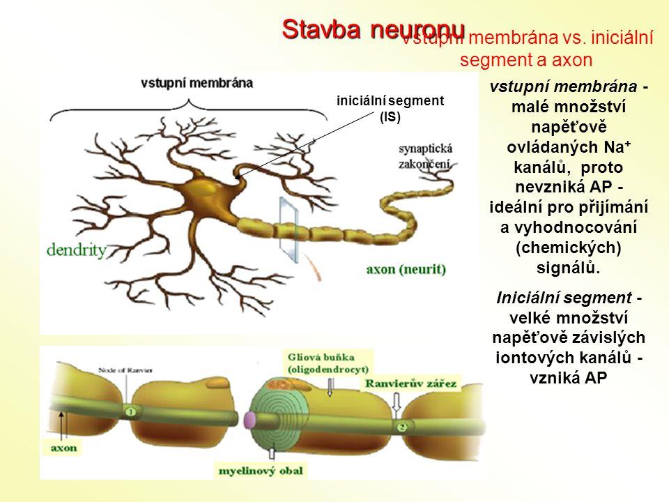 iniciální segment (IS) Vstupní membrána vs. iniciální segment a axon Stavba neuronu vstupní membrána - malé množství napěťově ovládaných Na + kanálů,