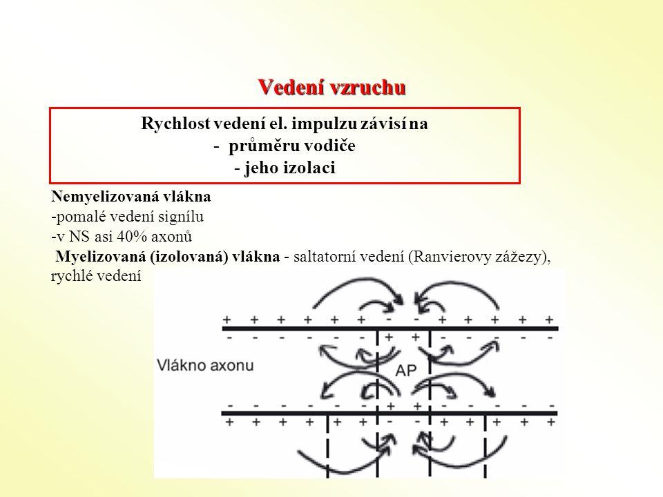 Vedení vzruchu Nemyelizovaná vlákna -pomalé vedení signílu -v NS asi 40% axonů Myelizovaná (izolovaná) vlákna - saltatorní vedení (Ranvierovy zážezy),