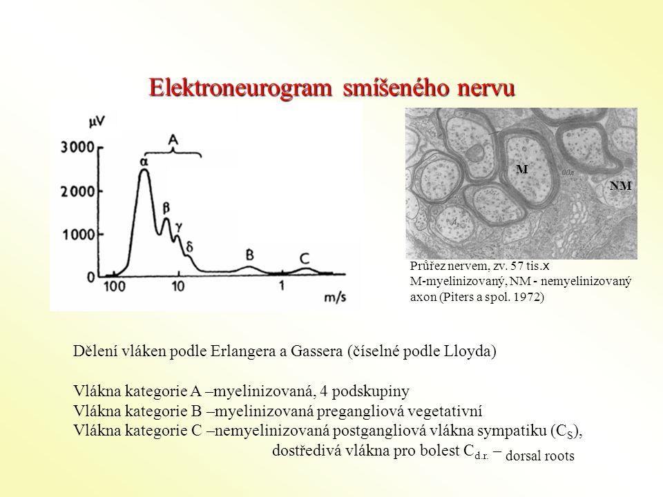 Elektroneurogram smíšeného nervu Dělení vláken podle Erlangera a Gassera (číselné podle Lloyda) Vlákna kategorie A –myelinizovaná, 4 podskupiny Vlákna kategorie B –myelinizovaná pregangliová vegetativní Vlákna kategorie C –nemyelinizovaná postgangliová vlákna sympatiku (C S ), dostředivá vlákna pro bolest C d.r.