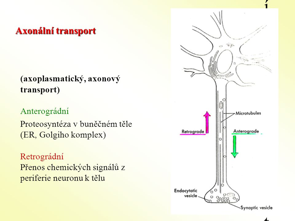 (axoplasmatický, axonový transport) Anterográdní Proteosyntéza v buněčném těle (ER, Golgiho komplex) Retrográdní Přenos chemických signálů z periferie neuronu k tělu Axonální transportAxonální transport Axonální transport