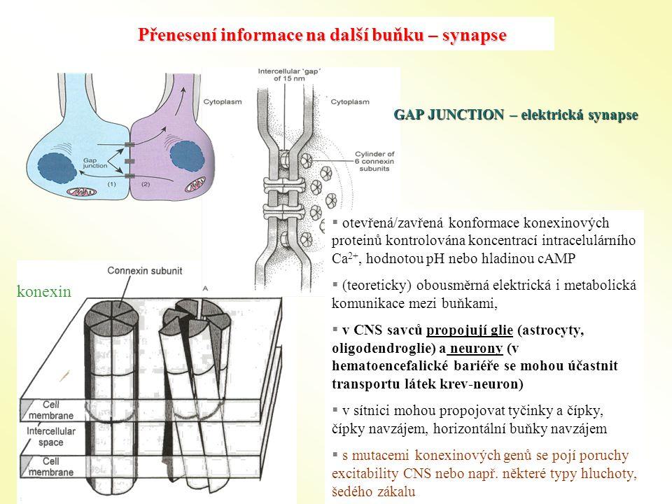 Přenesení informace na další buňku – synapse konexin GAP JUNCTION – elektrická synapse  otevřená/zavřená konformace konexinových proteinů kontrolována koncentrací intracelulárního Ca 2+, hodnotou pH nebo hladinou cAMP  (teoreticky) obousměrná elektrická i metabolická komunikace mezi buňkami,  v CNS savců propojují glie (astrocyty, oligodendroglie) a neurony (v hematoencefalické bariéře se mohou účastnit transportu látek krev-neuron)  v sítnici mohou propojovat tyčinky a čípky, čípky navzájem, horizontální buňky navzájem  s mutacemi konexinových genů se pojí poruchy excitability CNS nebo např.