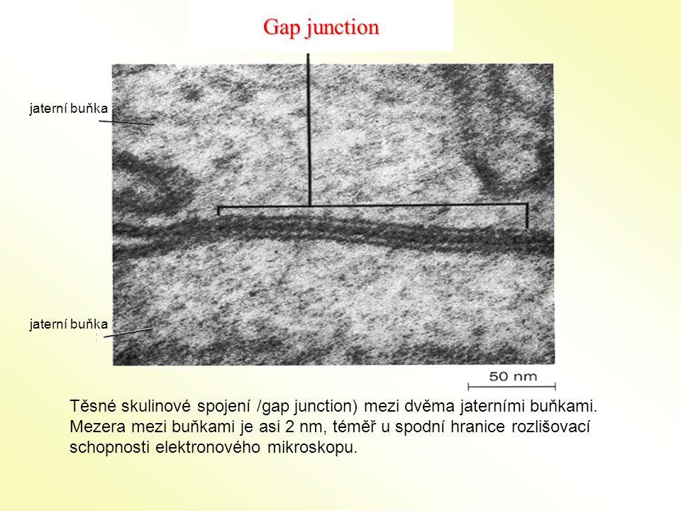 jaterní buňka 1 jaterní buňka 2 Těsné skulinové spojení /gap junction) mezi dvěma jaterními buňkami. Mezera mezi buňkami je asi 2 nm, téměř u spodní h