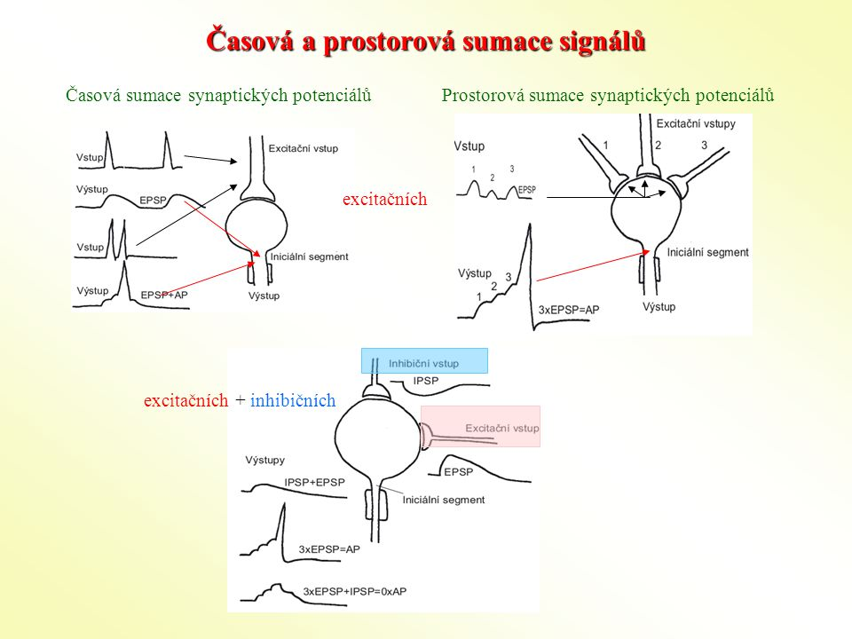 Časová a prostorová sumace signálů Časová sumace synaptických potenciálůProstorová sumace synaptických potenciálů excitačních excitačních + inhibičních
