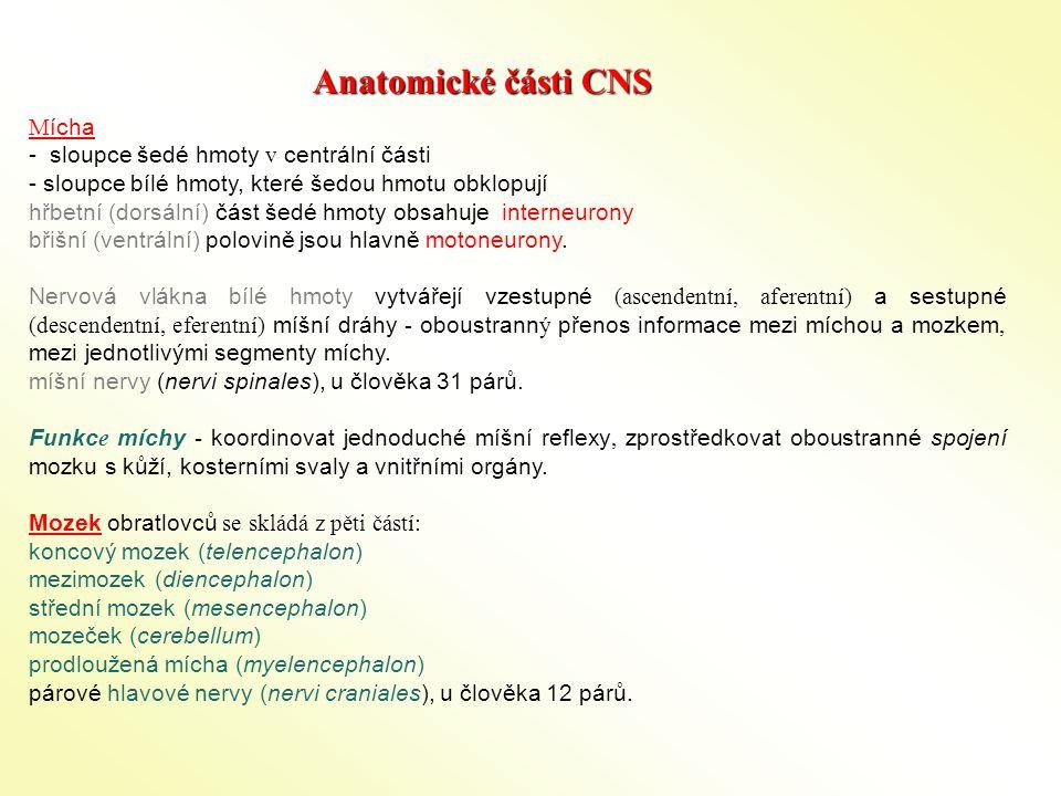 """Plasticita CNS schopnost přizpůsobit se (přizpůsobivost) Systémová úroveň aferentní - ztráta čidla (oko), část končetiny (prsty)  rozšíření korového představenstva eferentní – poškození části CNS (sensorimotorická kůra)  funkci přebírá okolní kůra Buněčná úroveňBuněčná úroveň Synaptogeneze - synaptický """"sprouting – větvení (GD) ??."""