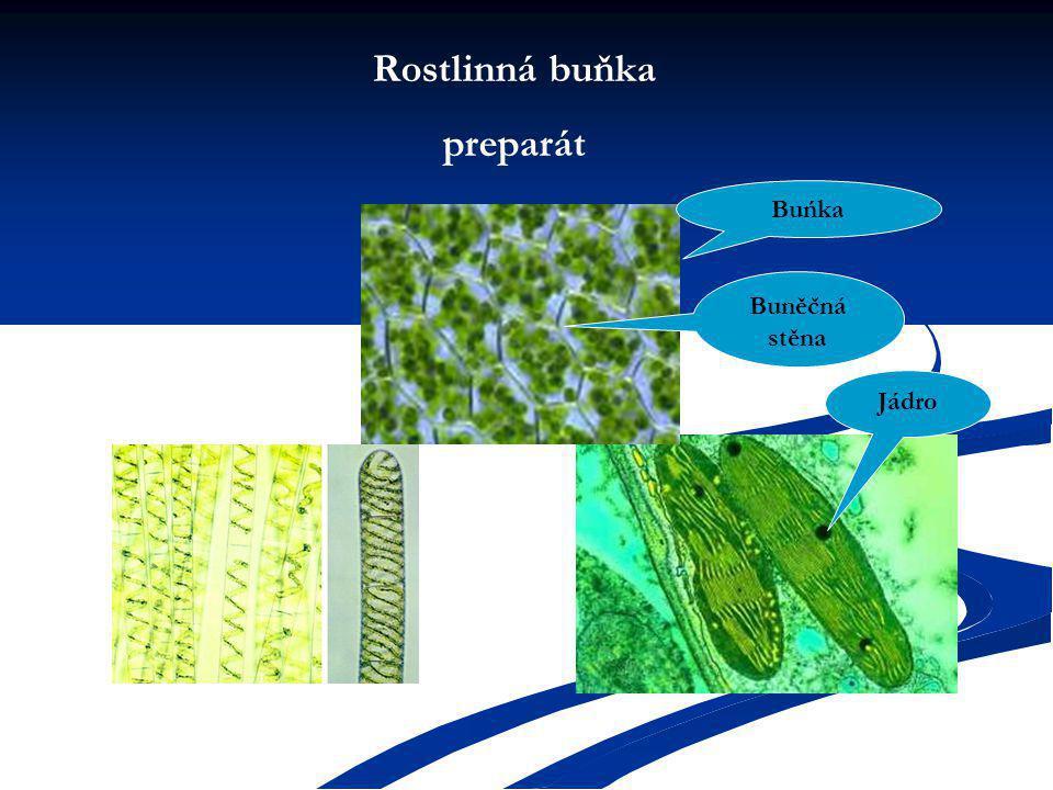 Rostlinná buňka preparát Buńka Jádro Buněčná stěna