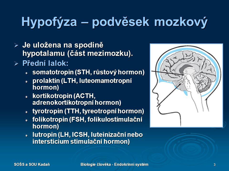 SOŠS a SOU KadaňBiologie člověka - Endokrinní systém 3 Hypofýza – podvěsek mozkový  Je uložena na spodině hypotalamu (část mezimozku).  Přední lalok