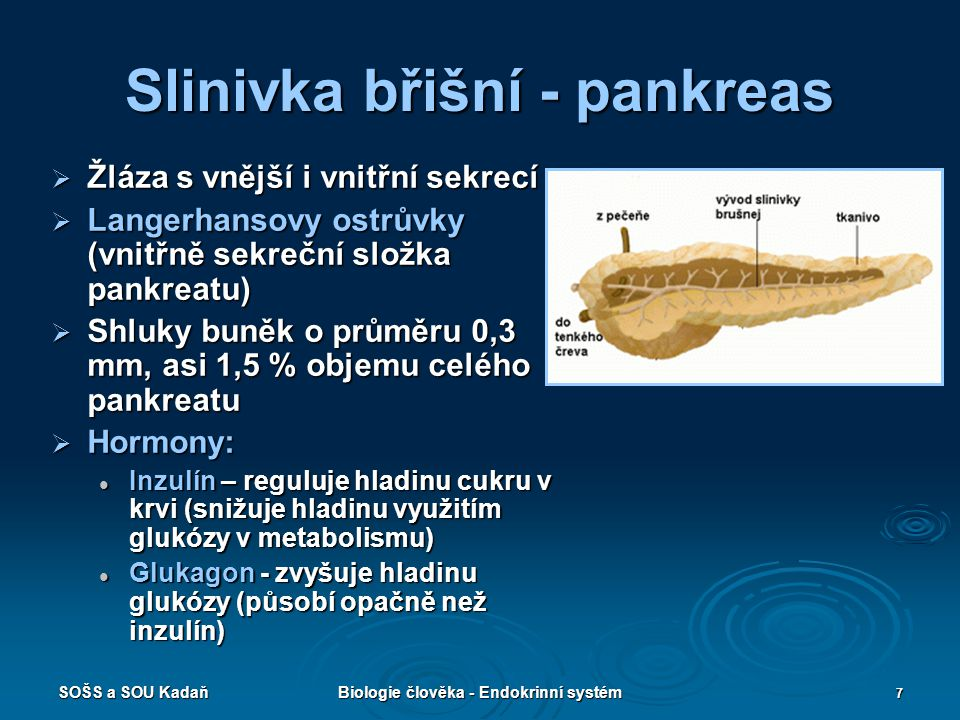 SOŠS a SOU KadaňBiologie člověka - Endokrinní systém 7 Slinivka břišní - pankreas  Žláza s vnější i vnitřní sekrecí  Langerhansovy ostrůvky (vnitřně