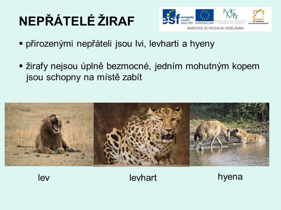 NEPŘÁTELÉ ŽIRAF  přirozenými nepřáteli jsou lvi, levharti a hyeny  žirafy nejsou úplně bezmocné, jedním mohutným kopem jsou schopny na místě zabít l