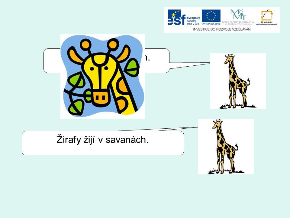 Žirafy žijí v pouštích. Žirafy žijí v savanách.
