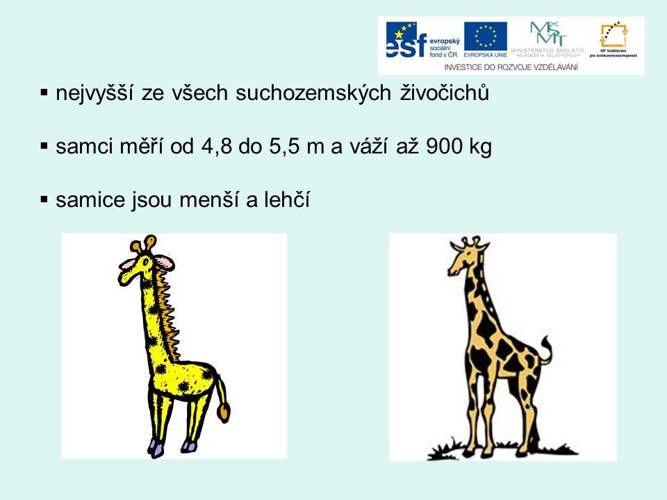  nejvyšší ze všech suchozemských živočichů  samci měří od 4,8 do 5,5 m a váží až 900 kg  samice jsou menší a lehčí