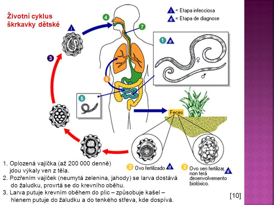  Parazitují v tenkém střevě  Samičky dorůstají i 20 cm  Tenké válcovité, na koncích zúžené tělo  Výrazná pohlavní dvojtvárnost  Škrkavka: dětská, psí, kočičí, šelmí [2] škrkavka dětská