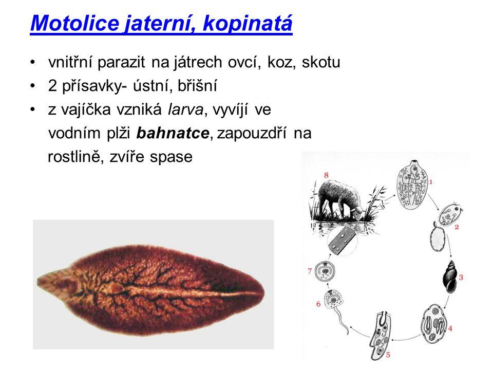 Motolice jaterní, kopinatá vnitřní parazit na játrech ovcí, koz, skotu 2 přísavky- ústní, břišní z vajíčka vzniká larva, vyvíjí ve vodním plži bahnatc