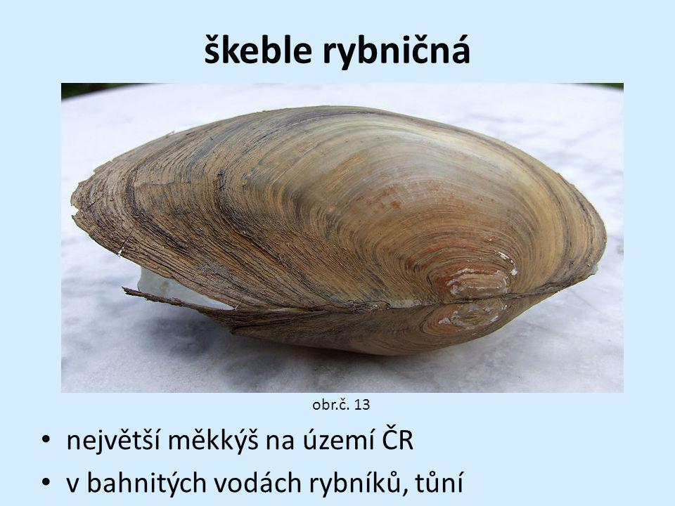 škeble rybničná největší měkkýš na území ČR v bahnitých vodách rybníků, tůní obr.č. 13