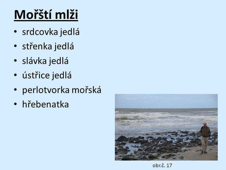 Mořští mlži srdcovka jedlá střenka jedlá slávka jedlá ústřice jedlá perlotvorka mořská hřebenatka obr.č. 17
