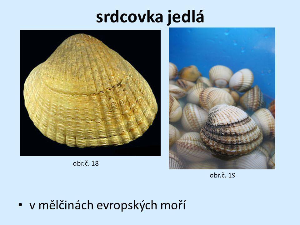 srdcovka jedlá v mělčinách evropských moří obr.č. 18 obr.č. 19