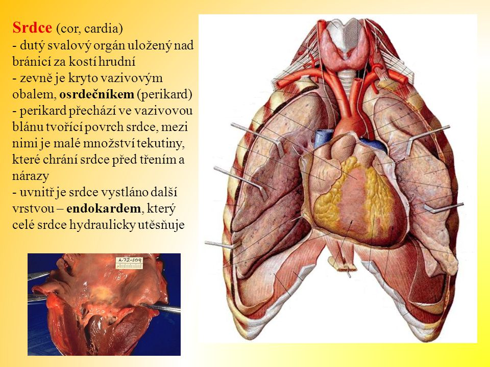 Srdce (cor, cardia) - dutý svalový orgán uložený nad bránicí za kostí hrudní - zevně je kryto vazivovým obalem, osrdečníkem (perikard) - perikard přechází ve vazivovou blánu tvořící povrch srdce, mezi nimi je malé množství tekutiny, které chrání srdce před třením a nárazy - uvnitř je srdce vystláno další vrstvou – endokardem, který celé srdce hydraulicky utěsňuje