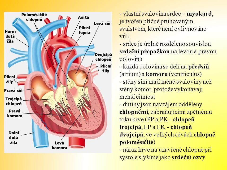 - vlastní svalovina srdce – myokard, je tvořen příčně pruhovaným svalstvem, které není ovlivňováno vůlí - srdce je úplně rozděleno souvislou srdeční přepážkou na levou a pravou polovinu - každá polovina se dělí na předsíň (atrium) a komoru (ventriculus) - stěny síní mají méně svaloviny než stěny komor, protože vykonávají menší činnost - dutiny jsou navzájem odděleny chlopněmi, zabraňujícími zpětnému toku krve (PP a PK - chlopeň trojcípá, LP a LK - chlopeň dvojcípá, ve velkých cévách chlopně poloměsíčité) - náraz krve na uzavřené chlopně při systole slyšíme jako srdeční ozvy