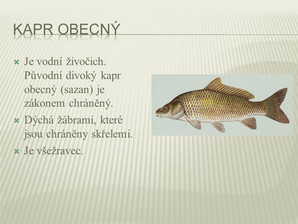  Je vodní živočich.Původní divoký kapr obecný (sazan) je zákonem chráněný.
