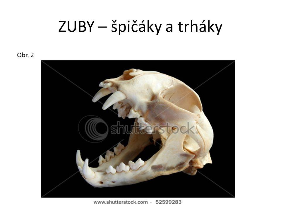 ZUBY – špičáky a trháky Obr. 2