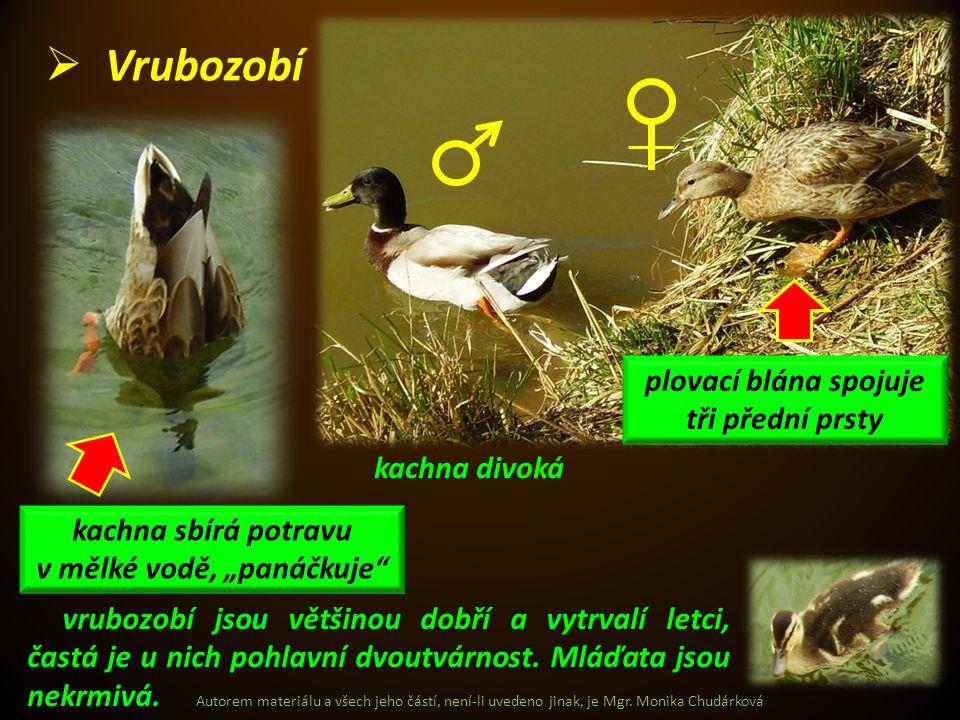 Autorem materiálu a všech jeho částí, není-li uvedeno jinak, je Mgr. Monika Chudárková  Vrubozobí kachna divoká vrubozobí jsou většinou dobří a vytrv