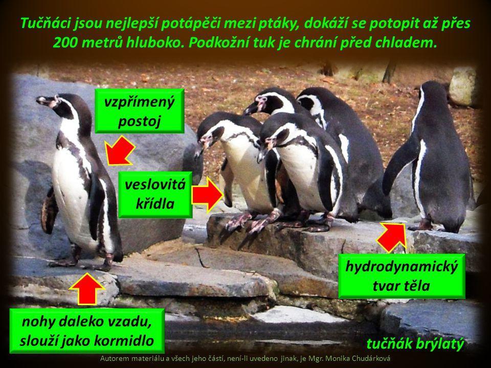 Autorem materiálu a všech jeho částí, není-li uvedeno jinak, je Mgr. Monika Chudárková Tučňáci jsou nejlepší potápěči mezi ptáky, dokáží se potopit až