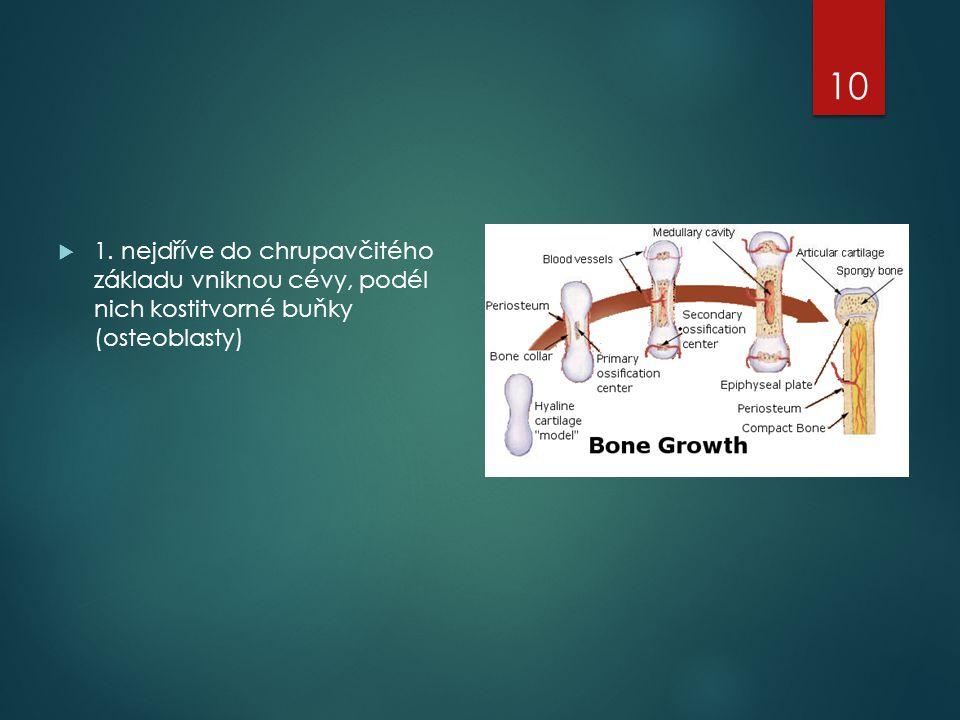  1. nejdříve do chrupavčitého základu vniknou cévy, podél nich kostitvorné buňky (osteoblasty) 10