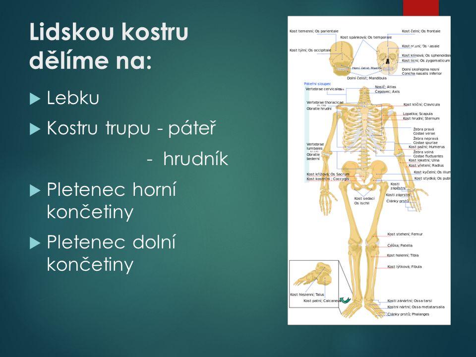 Lidskou kostru dělíme na:  Lebku  Kostru trupu - páteř - hrudník  Pletenec horní končetiny  Pletenec dolní končetiny 23