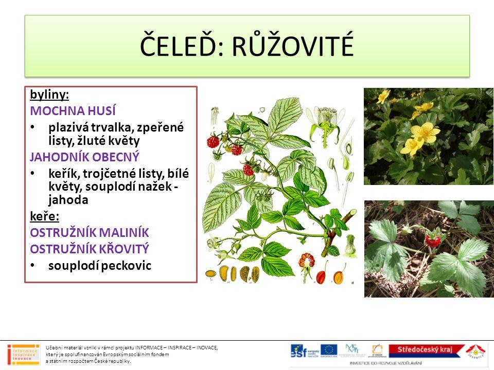 byliny: MOCHNA HUSÍ plazivá trvalka, zpeřené listy, žluté květy JAHODNÍK OBECNÝ keřík, trojčetné listy, bílé květy, souplodí nažek - jahoda keře: OSTR