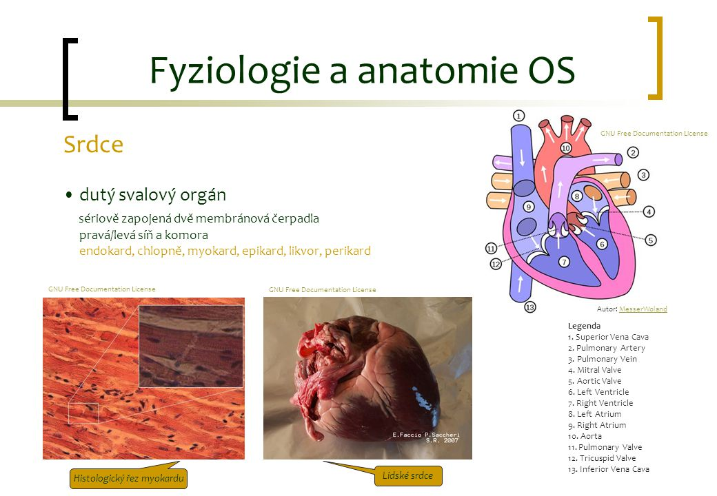 Fyziologie a anatomie OS Srdce dutý svalový orgán sériově zapojená dvě membránová čerpadla pravá/levá síň a komora endokard, chlopně, myokard, epikard