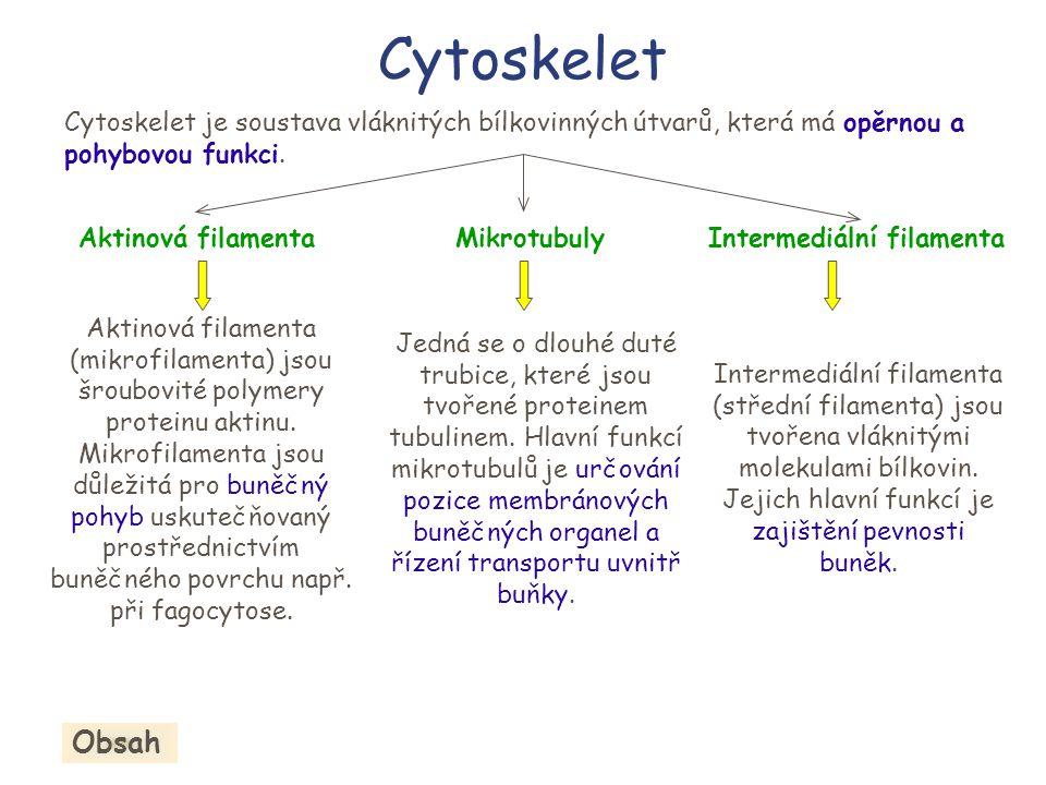 Cytoskelet Cytoskelet je soustava vláknitých bílkovinných útvarů, která má opěrnou a pohybovou funkci.