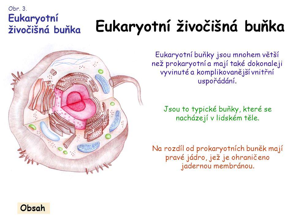 Eukaryotní živočišná buňka Eukaryotní buňky jsou mnohem větší než prokaryotní a mají také dokonaleji vyvinuté a komplikovanější vnitřní uspořádání.