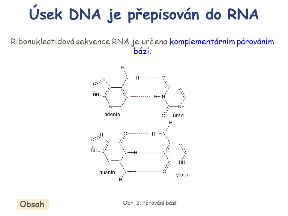 Ribonukleotidová sekvence RNA je určena komplementárním párováním bází. Úsek DNA je přepisován do RNA Obr. 2. Párování bází Obsah