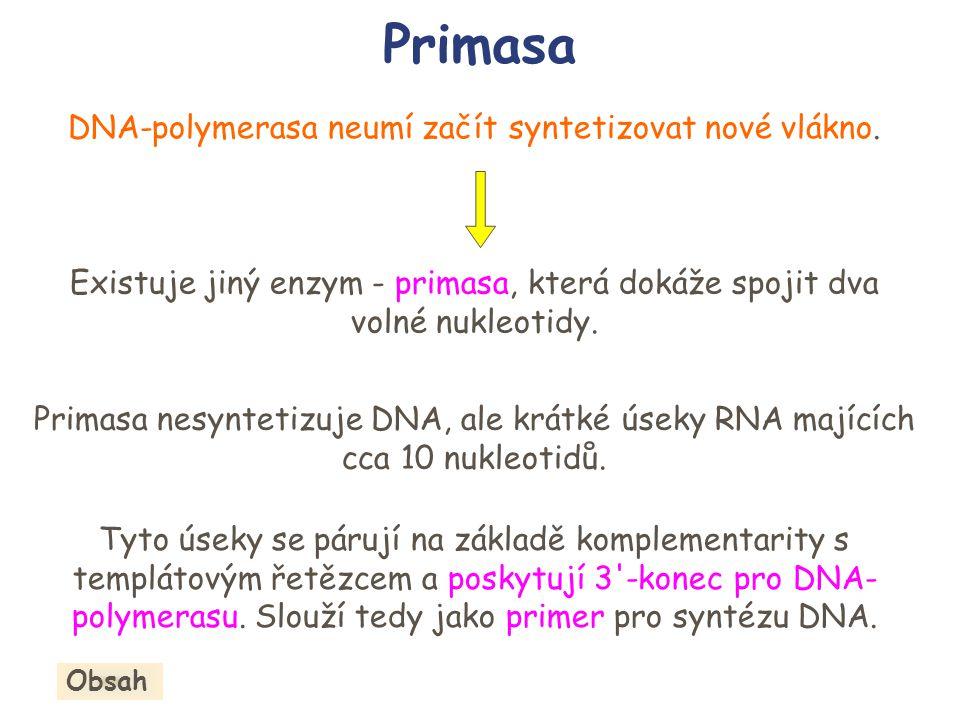Primasa DNA-polymerasa neumí začít syntetizovat nové vlákno. Existuje jiný enzym - primasa, která dokáže spojit dva volné nukleotidy. Primasa nesyntet